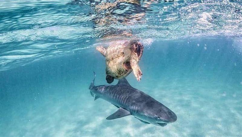 Видео с дракой черепахи и акулы покорило Сеть