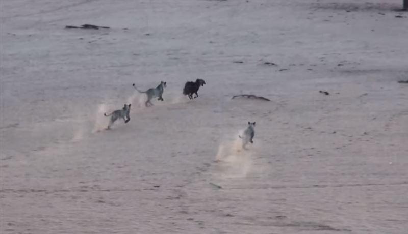 ВИДЕО: Львицы устроили засаду гиене, направлявшейся к водопою