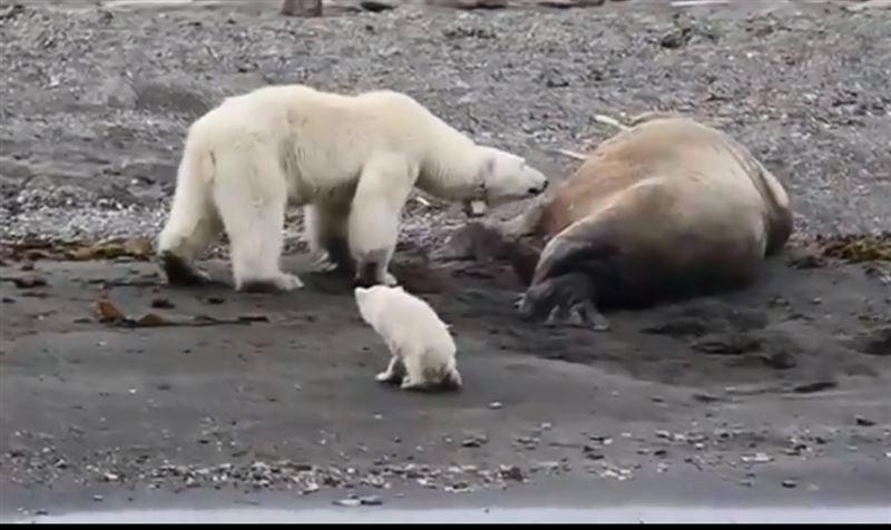 ВИДЕО: Сонный морж прогнал голодную белую медведицу с медвежонком