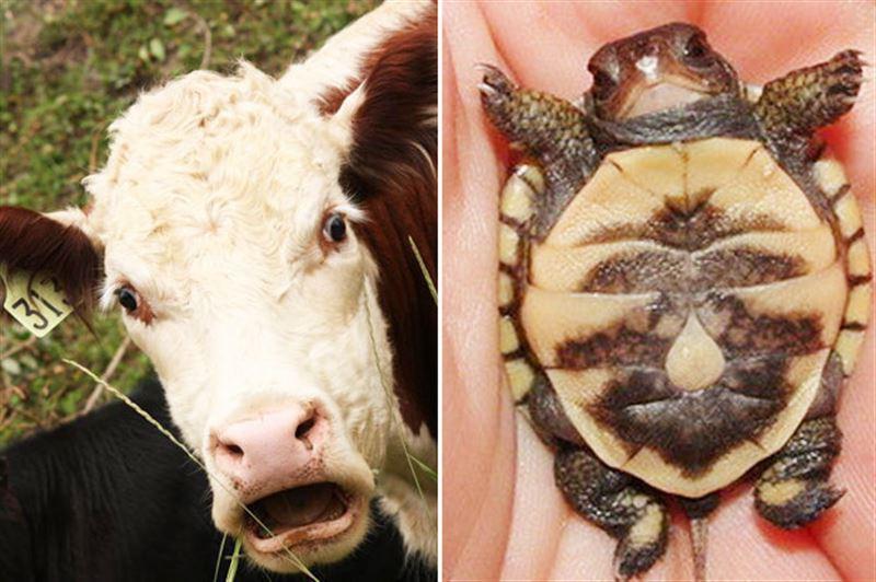 ФОТО: Корова родила черепаху вместе с теленком