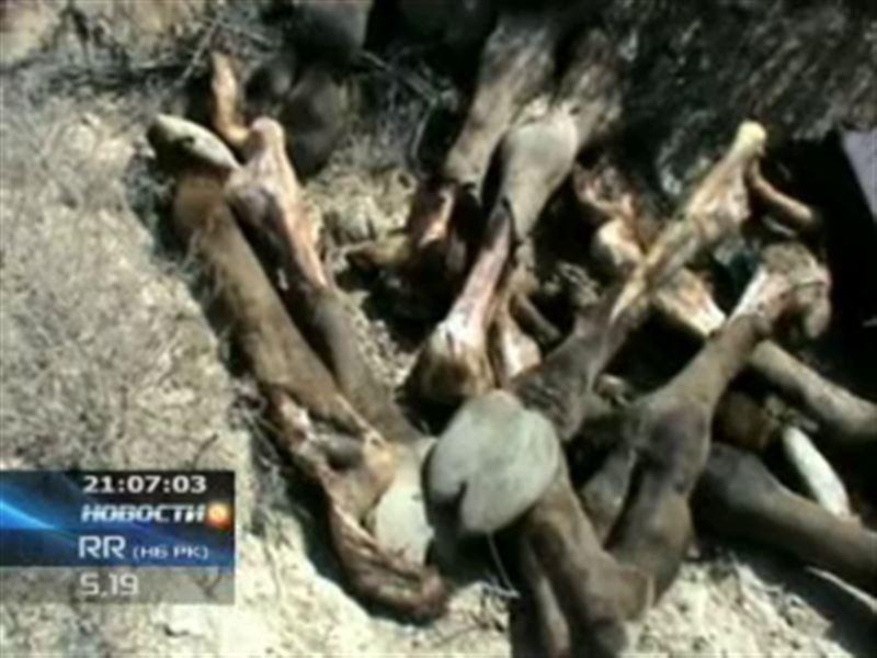Мангистауские полицейские обезвредили банду, занимавшуюся кражей верблюдов