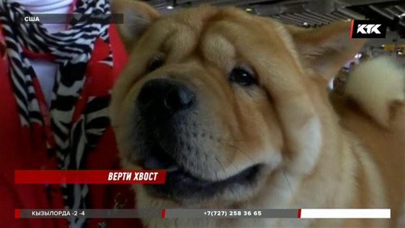 Открылась выставка собак Вестминстерского клуба