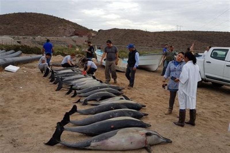 Свыше полсотни дельфинов выбросились на берег в Мексике