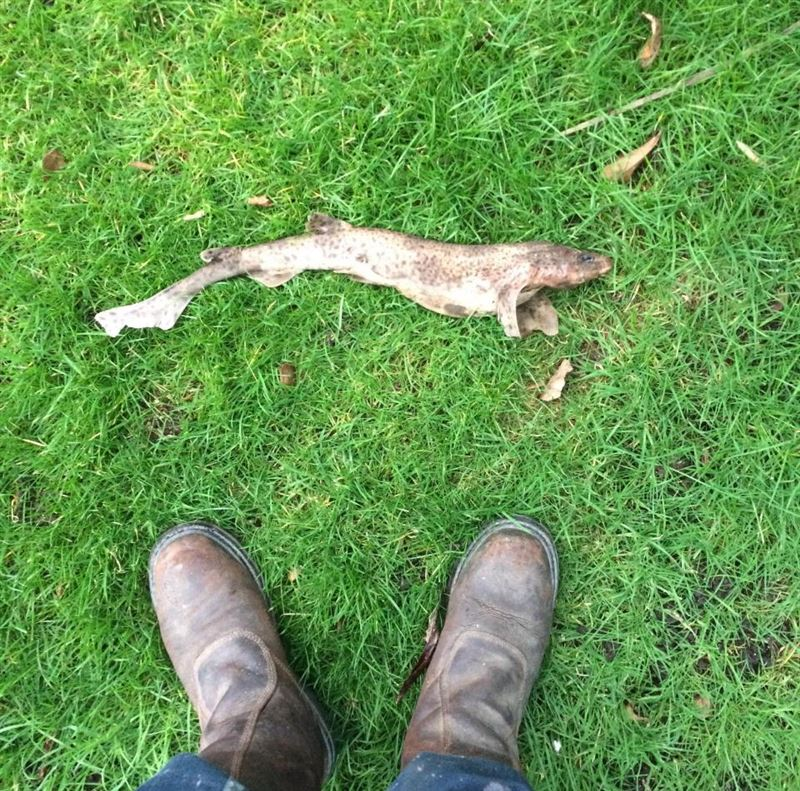 Житель Великобритании нашел мертвую акулу в своем саду
