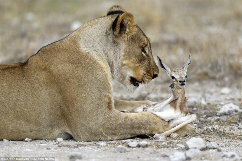 Львица стала приемной матерью для детеныша антилопы