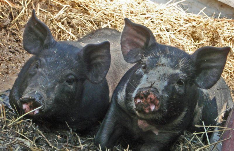 На Украине вьетнамские свиньи съели хозяина