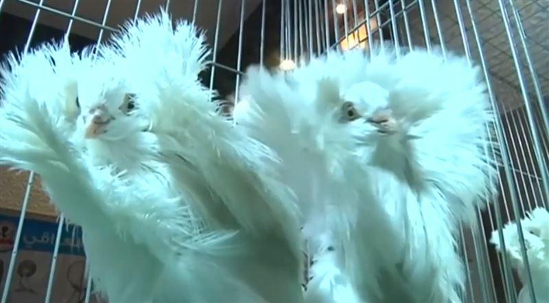 ВИДЕО: В Ираке впервые прошел голубиный конкурс красоты