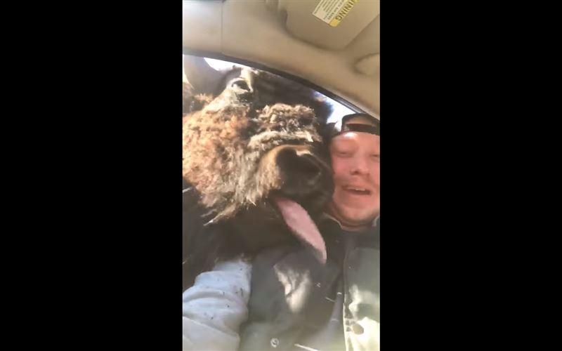 В Сети набирает популярность видео, в котором зубр просунул голову в окно автомобиля