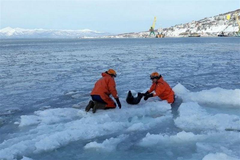 Спасатели вызволили нерпу, угодившую в ледовую ловушку