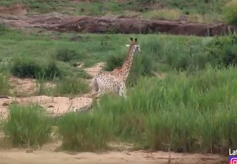 Жираф смог спастись от крокодила, но стал жертвой львов