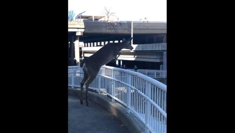 ВИДЕО: Наводнение уберегло отчаянного оленя от смерти