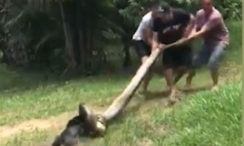 Мужчины отбили собаку у душившей ее анаконды