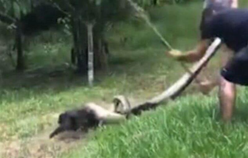 Видео: Анаконданың аузынан итті құтқарып алды