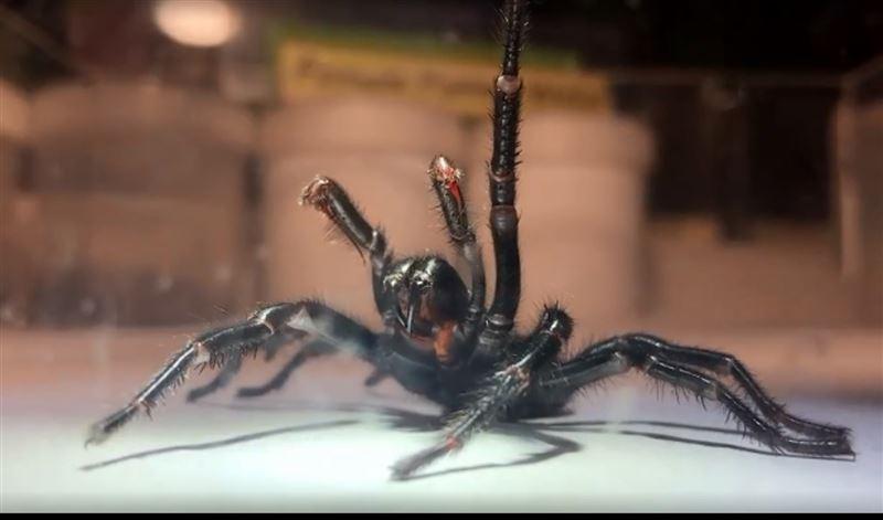 В австралийском зоопарке появился самый большой ядовитый паук