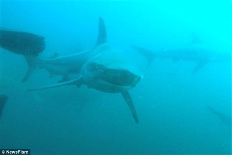 Нападение акулы на дайвера попало на видео