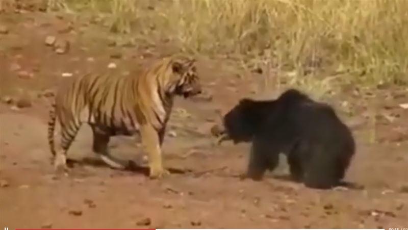 Зрелищную схватку тигра и медведицы сняли на видео