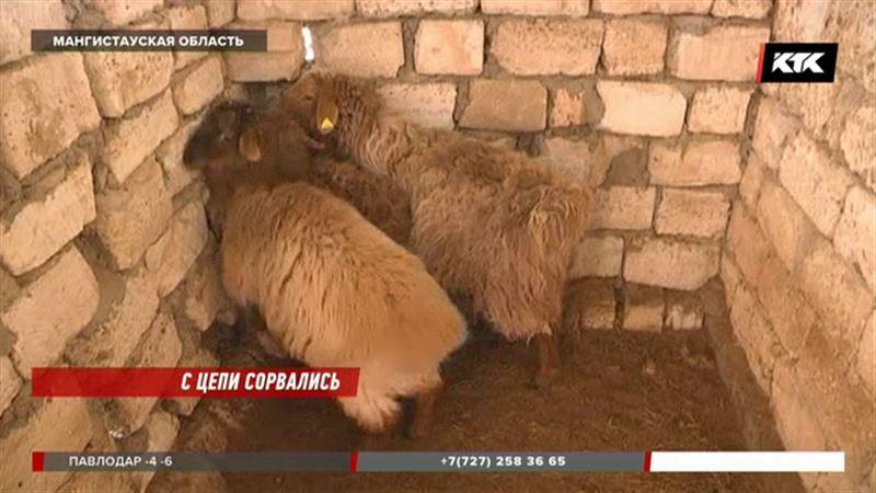 За двое суток бродячие собаки загрызли больше двадцати овец и коз