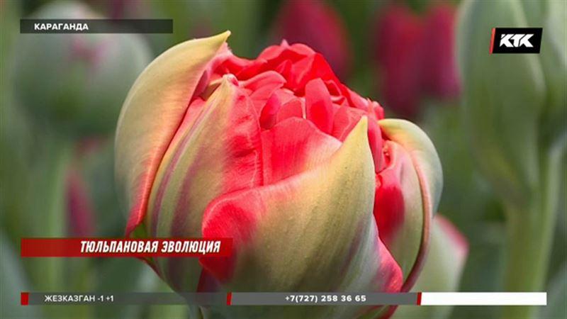 Тюльпаны, похожие на пионы, вырастили в Караганде