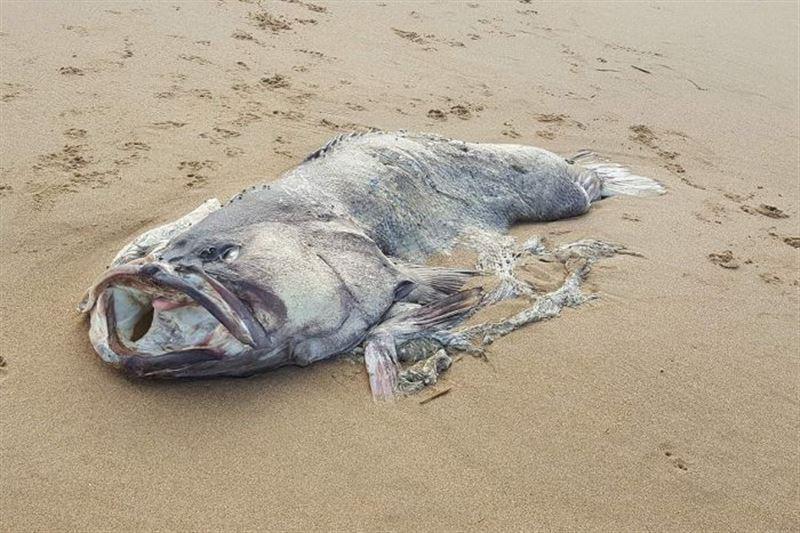 ФОТО: Жағажайдан табылған құбыжық балық жұртты шошытты