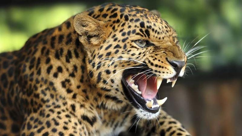 Леопард нападал на людей, заблудившись в индийском городе