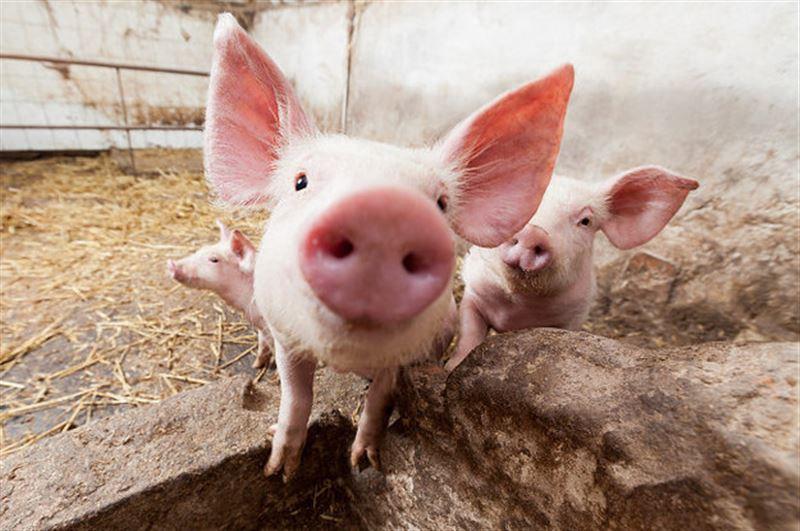 Британский фермер требует запретить оскорбления, порочащие свиней