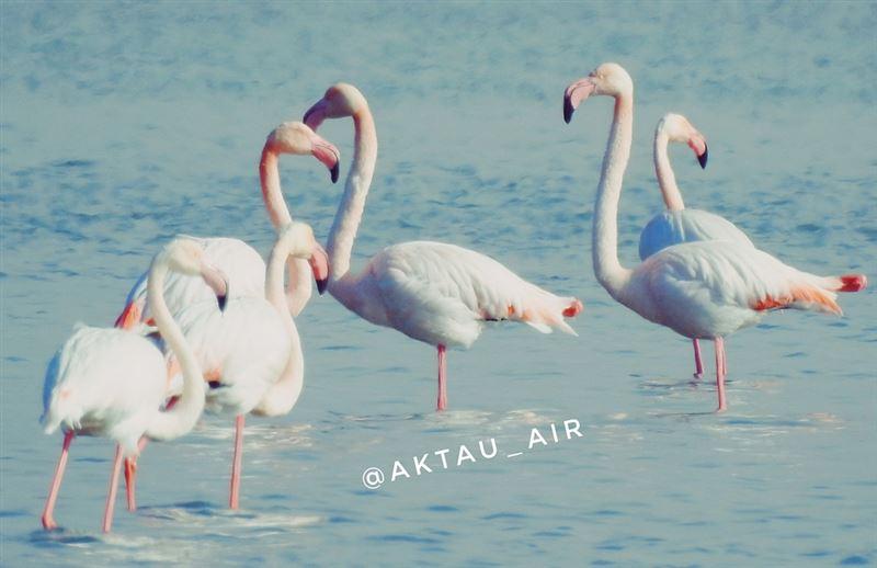 Житель Актау снял на видео танцующих розовых фламинго