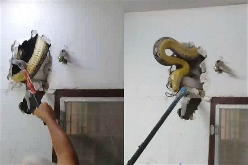 Гигантский питон поселился в стене дома жителя Бангкока