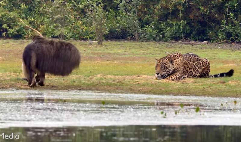 Гигантский муравьед спугнул охотившегося на него ягуара