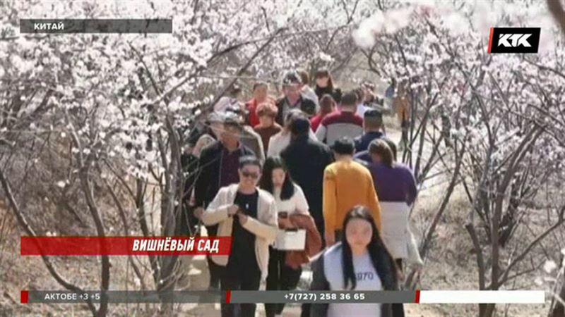 Сотни тысяч туристов приезжают в Китай полюбоваться на цветение вишни