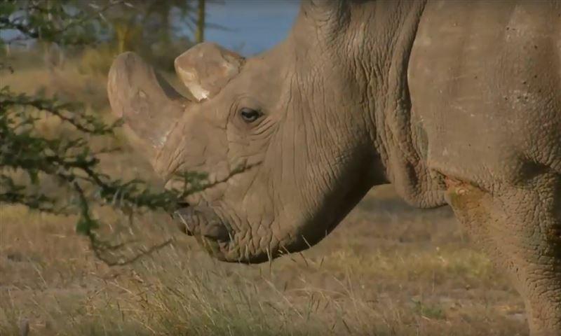 В Австралии скончался последний в мире самец белого носорога