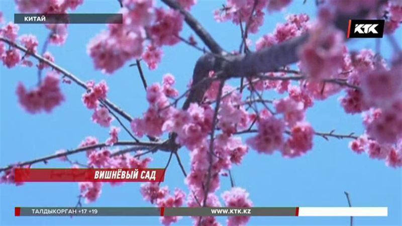 На юго-западе Китая потрясающее зрелище – зацвела вишня