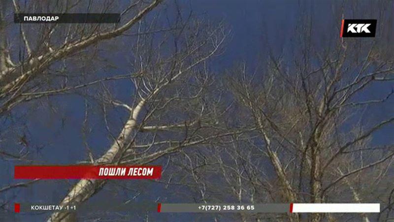 6500 деревьев срубят в Павлодаре