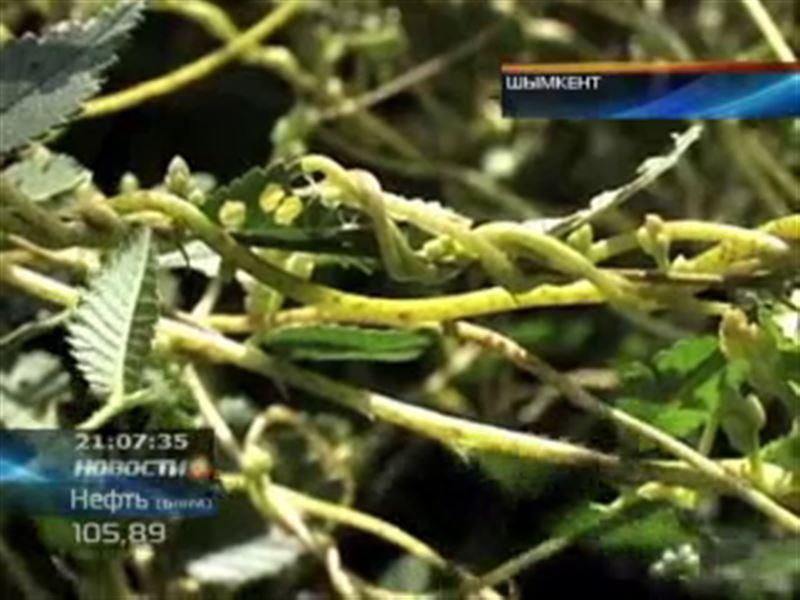 В Шымкенте из-за повилики засохли десятки деревьев