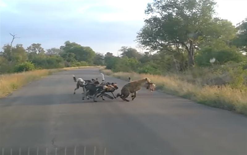 Туристы сняли на видео противостояние гиен и собак