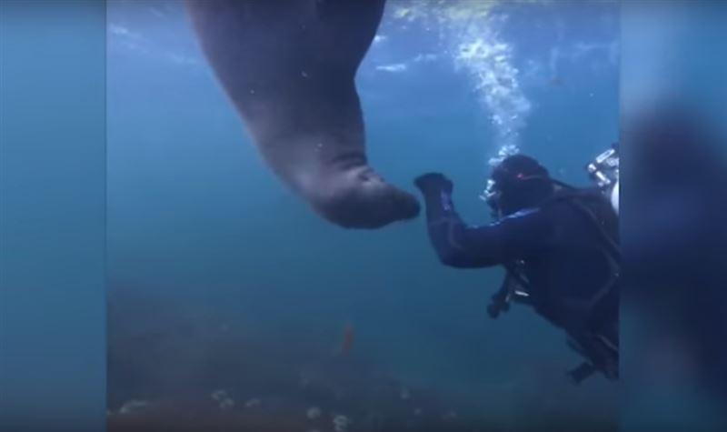 Морской лев хотел поиграть с дайвером, но получил затрещину