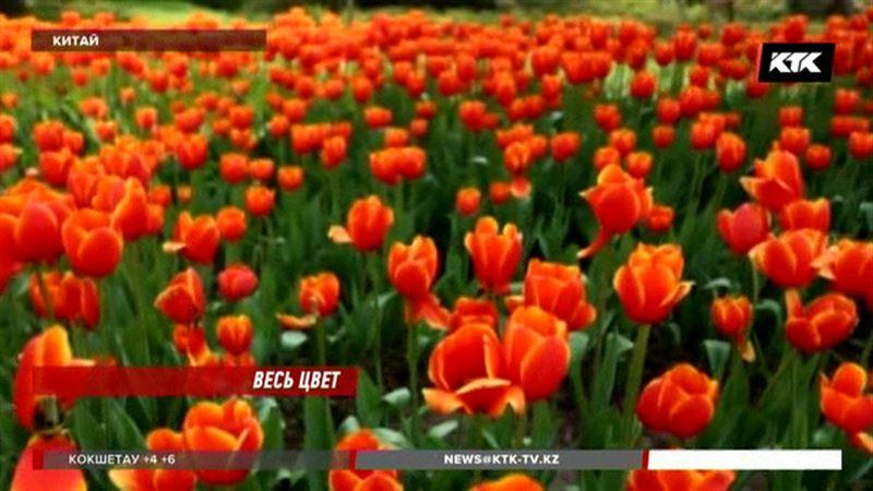 Сотни гектаров китайского Аньхоя покрылись цветущими тюльпанами