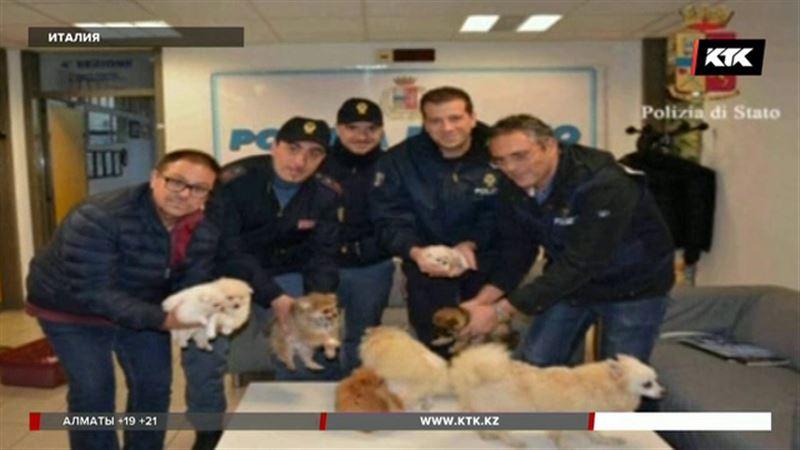 Украденных щенков шпица вернули хозяйке