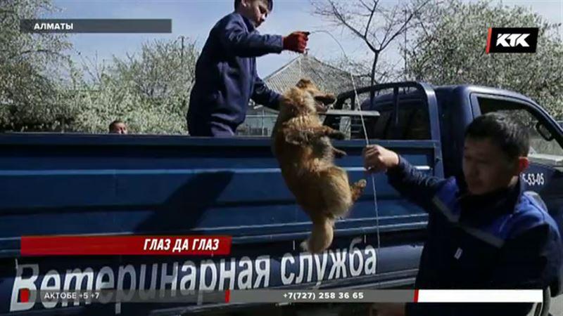 Гуманно ли проводят отлов собак в Алматы, покажет видео