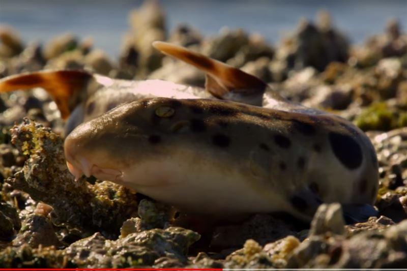 Ученые сняли на видео акулу, которая умеет ходить