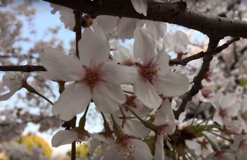 В Японии раньше времени начала цвести сакура