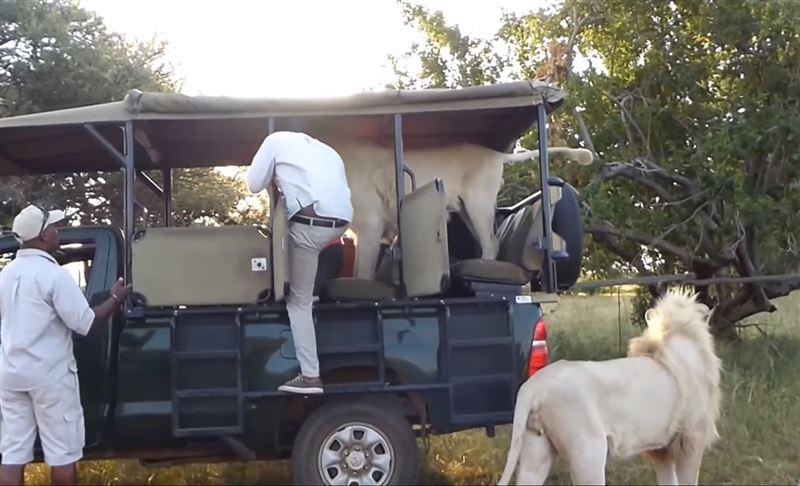Во время сафари белый лев запрыгнул в джип с туристами