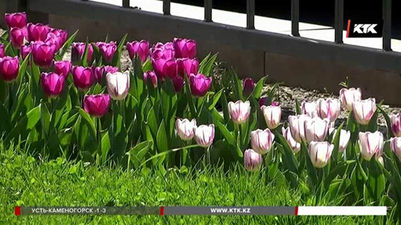 Шымкент утонул в тюльпанах