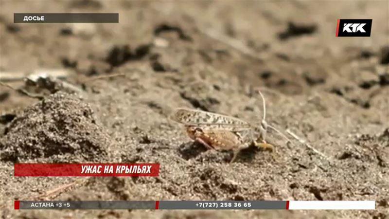 В нескольких областях страны ожидается нашествие саранчи
