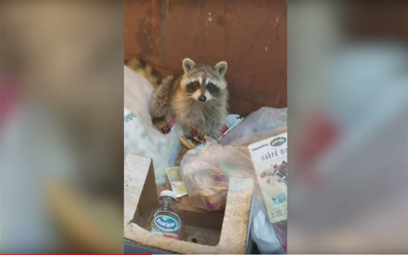 Женщина спасла енота, угодившего в мусорный бак