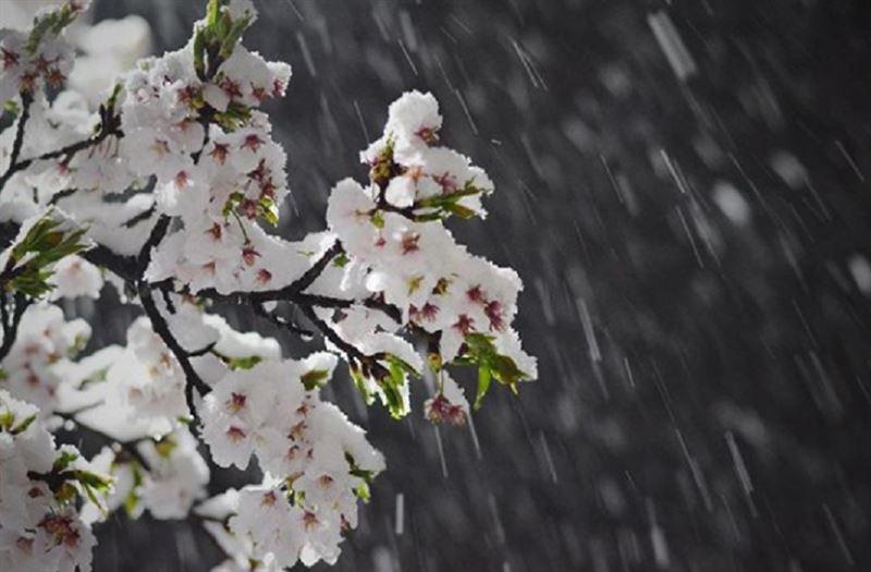 В Японии апрельский снег засыпал цветущие деревья сакуры