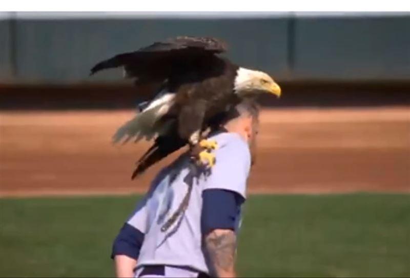 Орел сорвал исполнение гимна, приземлившись на бейсболиста