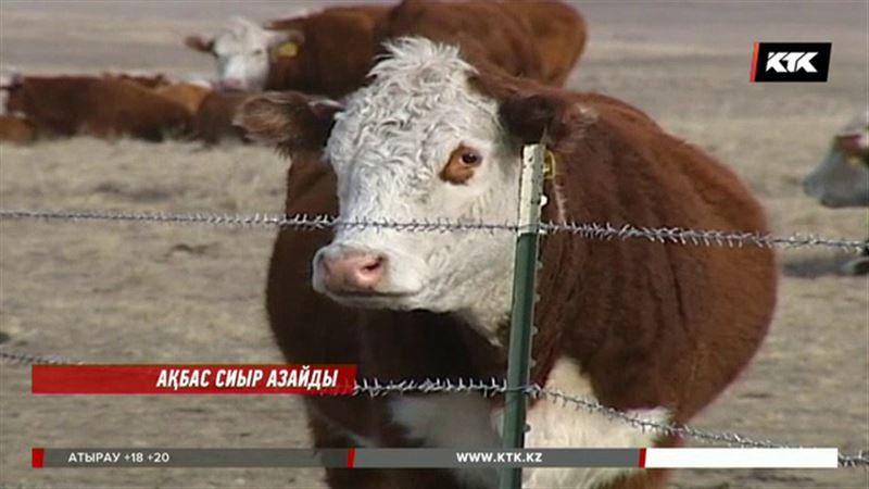 Депутаттар  ақбас тұқымды  сиырлардың санына қатты алаңдап отыр