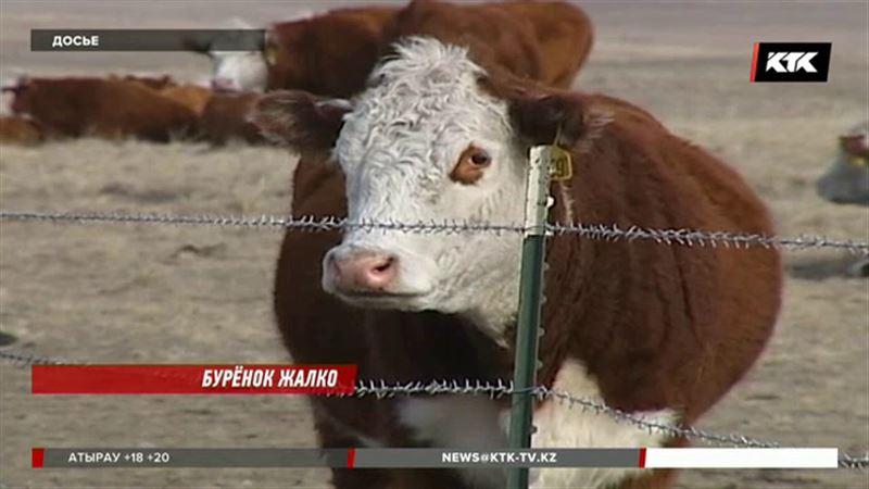 Животноводы боятся, что им перестанут давать деньги на развитие казахской белоголовой
