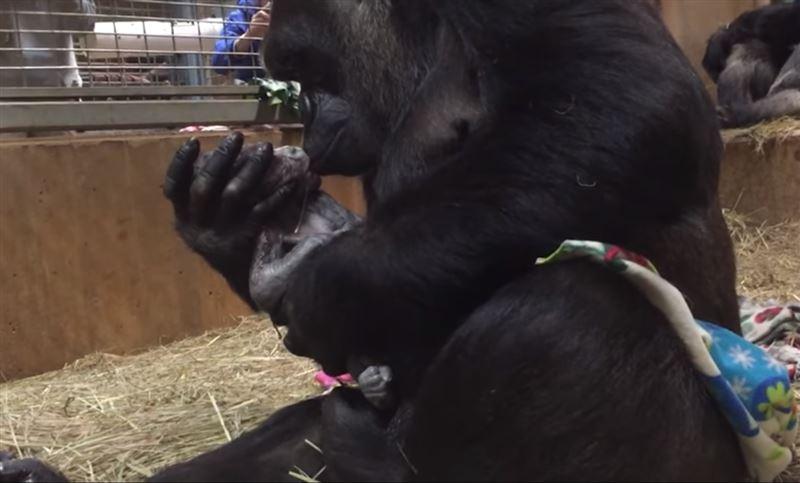 Пользователей Сети растрогало видео с редкой гориллой и ее новорожденным детенышем