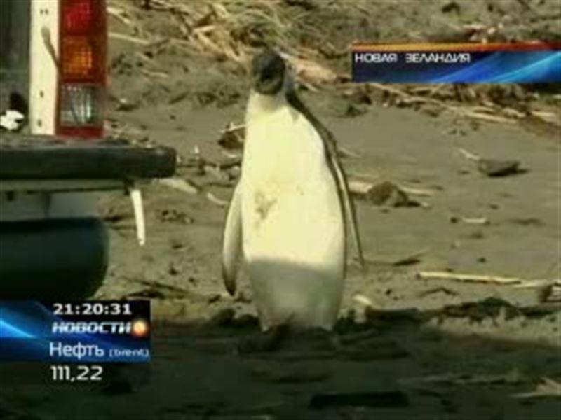Новозеландцы проводили на родину самого известного в стране пингвина